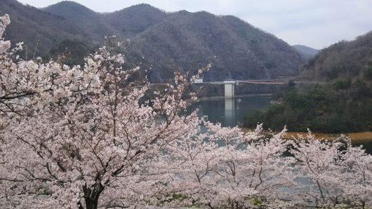 八田原ダム 桜