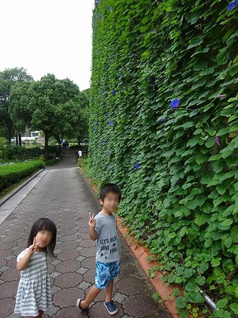 植物公園 あさがお巨大カーテン