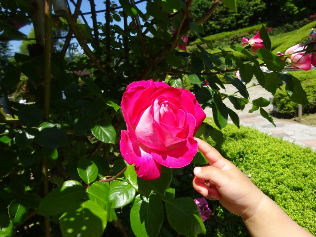 牛田公園 バラ